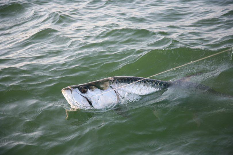 Tarpon fishing in Homosassa, Florida
